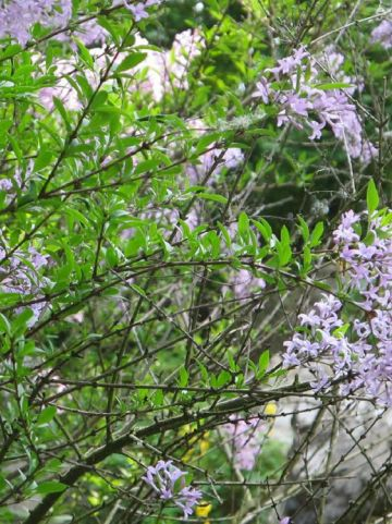 Syringa × laciniata  - Perzische sering