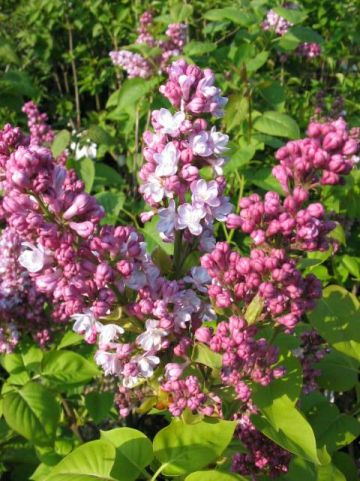 Syringa vulgaris 'Belle de Nancy' - Sering
