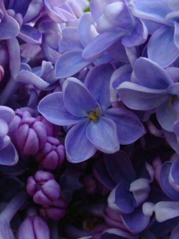 Syringa vulgaris 'Carpe Diem' (='Evert de Gier') - Gewone sering