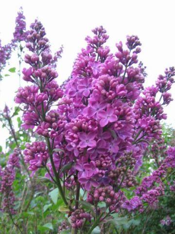 Syringa vulgaris 'G.J. Baardse' - Gewone sering