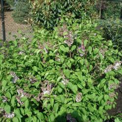 Syringa vulgaris 'Lila Wonder' - Gewone sering