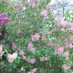 Syringa vulgaris 'Lucie Baltet' - Gewone sering