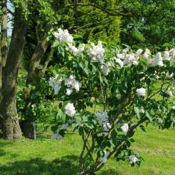 Syringa vulgaris 'Miss Ellen Willmott' - Gewone sering