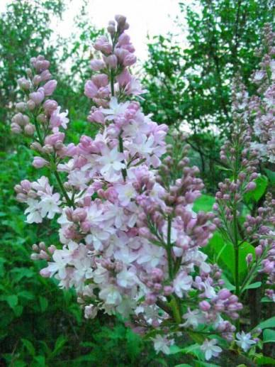 Syringa vulgaris 'Mme Antoine Buchner' - Gewone sering