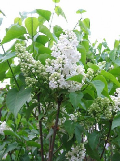Syringa vulgaris 'Mme. Florent Stepman' - Sering
