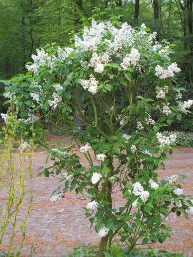 Syringa vulgaris 'Mme Lemoine' - Gewone sering