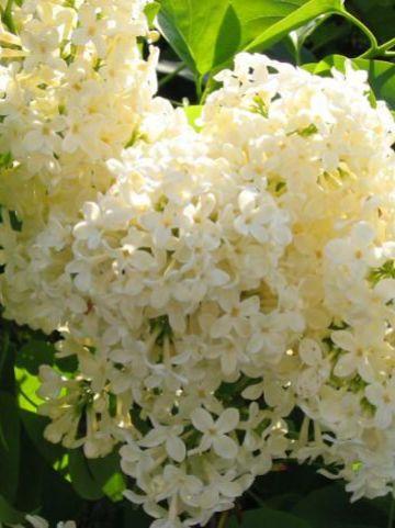 Syringa vulgaris 'Primrose' - Sering