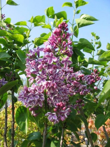 Syringa vulgaris 'Sensation' - Gewone sering