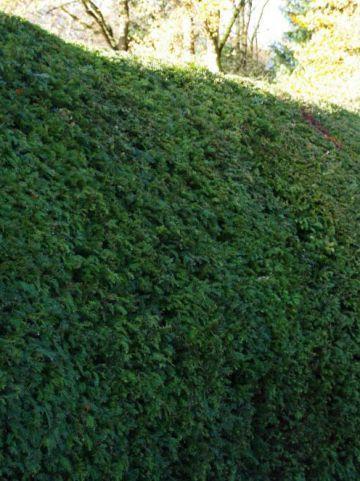 Taxus baccata - Venijnboom