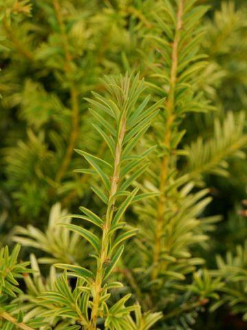 Taxus baccata 'Golden Carol' - Venijnboom