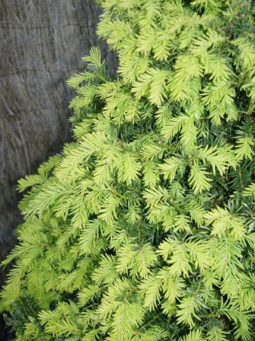 Taxus baccata 'Luca' - Venijnboom