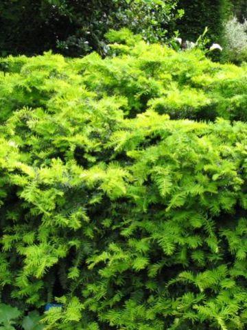 Taxus baccata 'Summergold' - Venijnboom