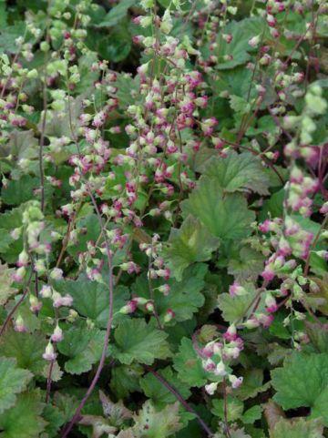 Tellima grandiflora 'Rubra' -