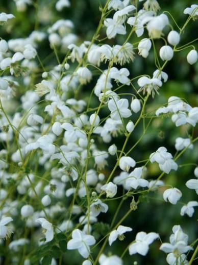 Thalictrum delavayi 'Splendide White' - Ruit