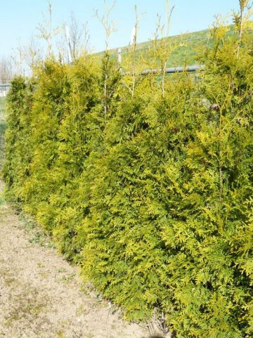 Thuja occidentalis 'Golden Brabant' - Westerse levensboom