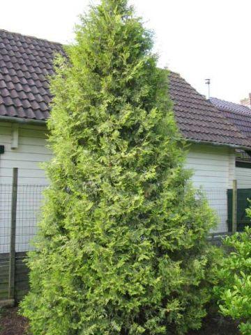 Thuja occidentalis 'Perk Vlaanderen' - Westerse levensboom