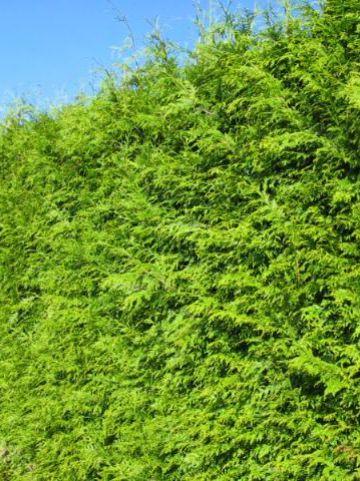 Thuja plicata 'Atrovirens' - Reuzenlevensboom