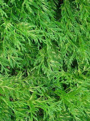 Thuja plicata 'Zebrina' - Reuzenlevensboom