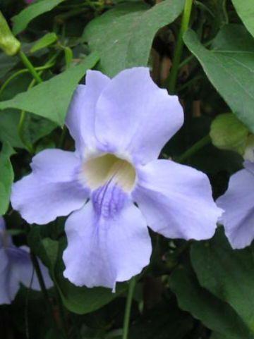 Thunbergia grandiflora  -