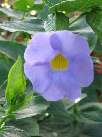 Thunbergia natalensis  -