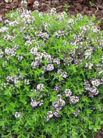 Thymus citriodorus - Citroentijm