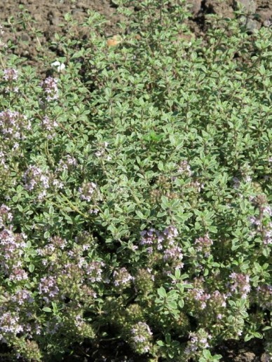 Thymus × citriodorus 'Silver Queen' - Bonte citroentijm