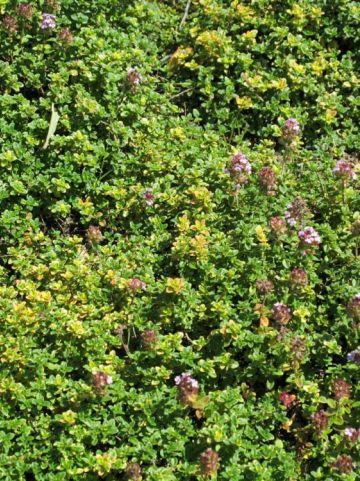 Thymus  'Doone Valley' - Tijm