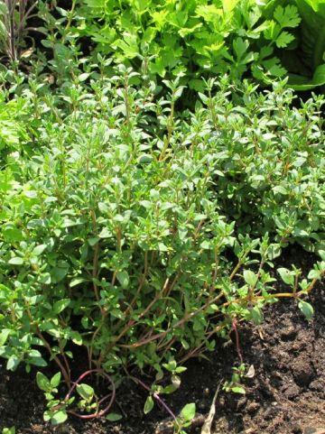 Thymus vulgaris - Gewone tijm