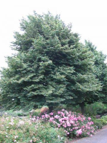 Tilia cordata 'Böhlje' - Winterlinde , Kleinbladige linde
