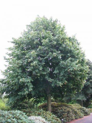 Tilia × europaea  'Pallida' - Koningslinde