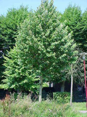 Tilia tomentosa 'Brabant' - Zilverlinde