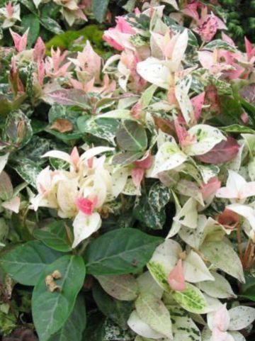 Trachelospermum asiaticum 'Tricolor' - Bontbladige sterjasmijn