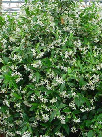 Trachelospermum jasminoides - Toscaanse jasmijn, sterjasmijn