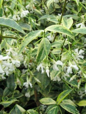 Trachelospermum jasminoides 'Variegatum' - Bontbladige Chileense sterjasmijn