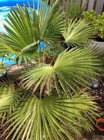 Trachycarpus fortunei  - Chinese waaierpalm