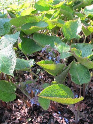Trachystemon orientalis  - Oriëntaals komkommerkruid
