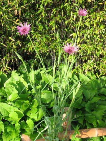 Tragopogon porrifolius  - Blauwe morgenster , Boksbaard , Haverwortel