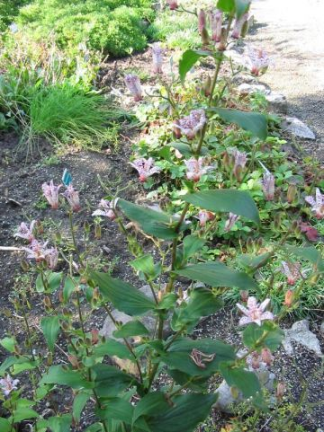Tricyrtis formosana - Paddelelie, armeluisorchidee