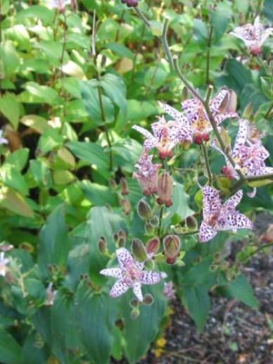 Tricyrtis formosana - Paddelelie, armeluisorchidee | De Tuinen van ...