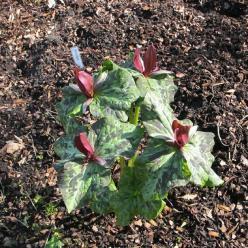 Trillium kurabayashii  - Drieblad , Boslelie