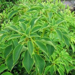 Trochodendron aralioides  -