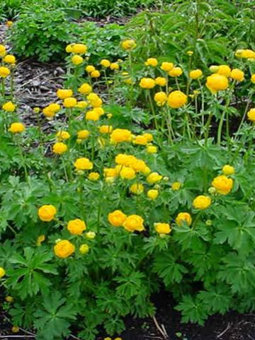 Trollius  'Orange Princess' - Kogelbloem