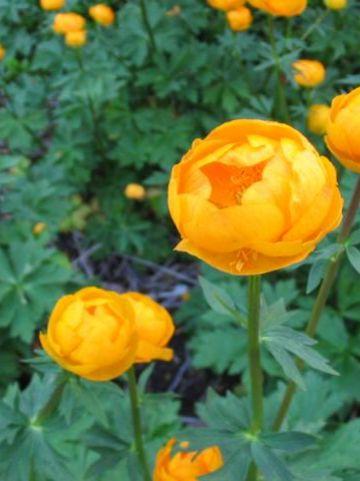 Trollius  'Orange Princess' - Kogelbloem