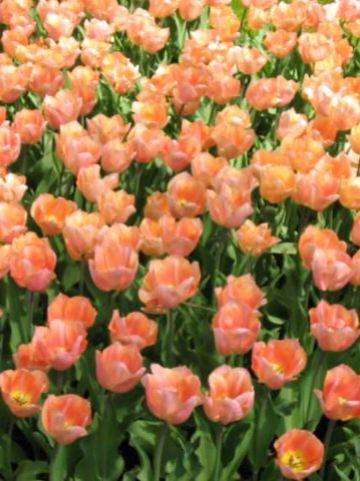 Tulipa  'Apricot Beauty' - Tulp
