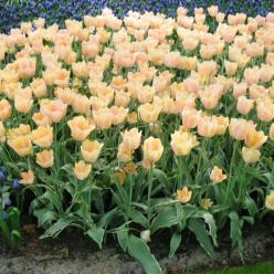 Tulipa  'Apricot Magic' - Tulp