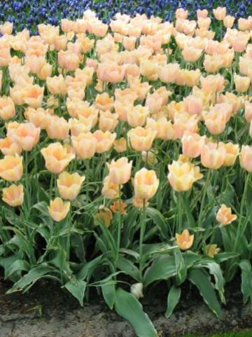 Tulipa  'Apricot Magic' - Tulp