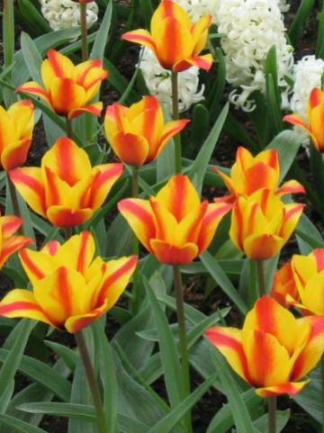 Tulipa  'Cape Cod' - Tulp