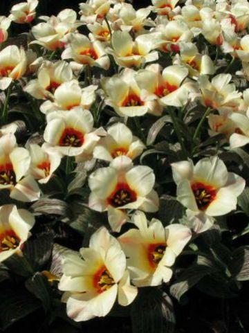 Tulipa  'Donna Bella' - Tulp