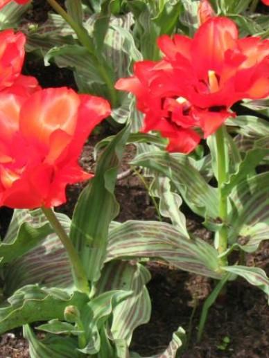 Tulipa  'Dubbele Roodkapje' - Tulp