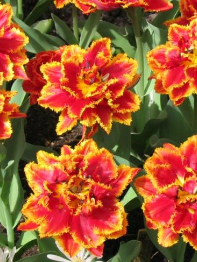 Tulipa  'Fringed Beauty' - Tulp